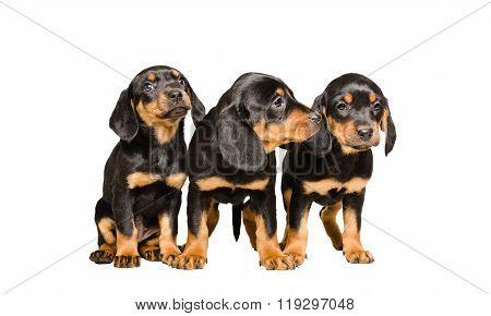 Three puppy breed Slovakian Hund