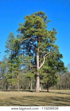 Early spring, pine tree. Alexandria Park, city Bila Tserkva, Kiev region, Ukraine.