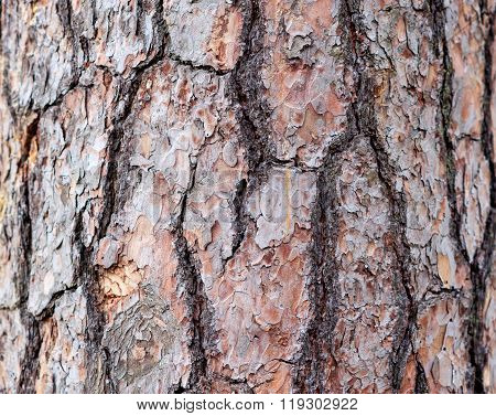 bark pine tree in forest. Texture background