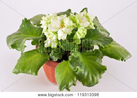 Blooming African violet Irish Laughter isolated on a white background