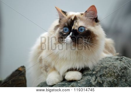 Rag doll cat outdoors on a granite rock