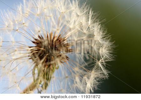 Dandelion Macro with narrow depth of field.