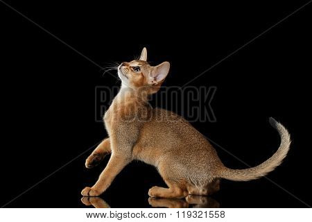 Playful Abyssinian Kitten Looking Up Isolated On Black Background