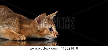 Hunting Abyssinian Kitten On Mirror And Looking Right Isolated Black