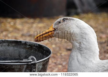 Goose who drinks water