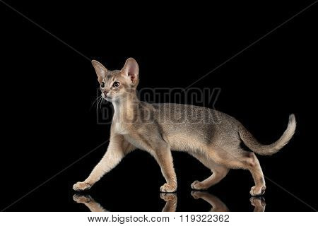 Walking Abyssinian Kitten Isolated On Black Background, Side View