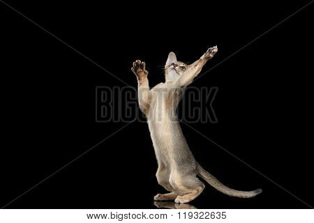 Hunting Abyssinian Kitten Catching Paws Isolated On Black Background