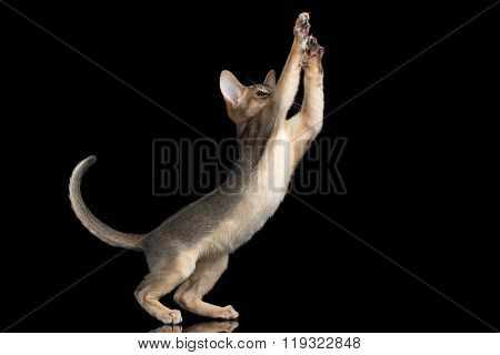 Playful Abyssinian Kitten Catching Paws Isolated On Black Background