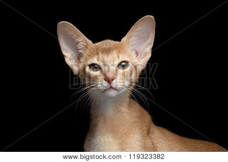 Closeup Portrait Of Abyssinian Kitten Looking In Camera Isolated  Black