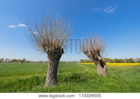 Agricultural landscape in Holland with willows and rape seed