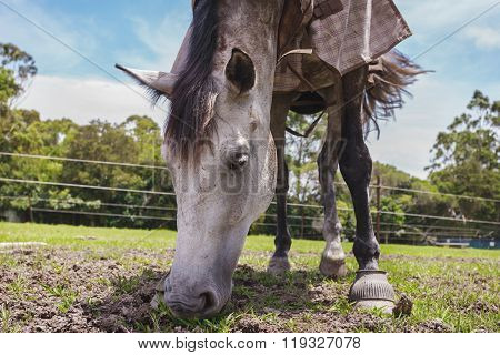 A Beautiful Dressed Horse Eating Pasture