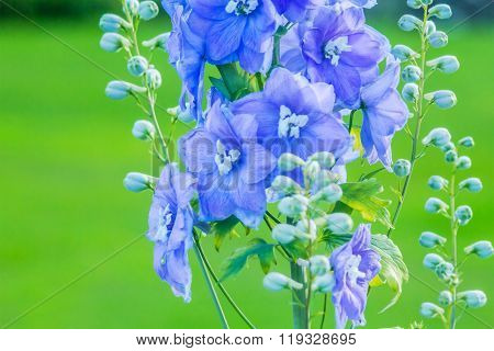 Delphinium 'after Midnight', Close Up Of Abundant Blue Flowers On A Single Stem