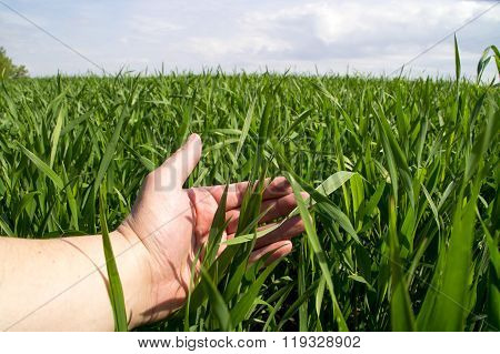 Man's hand verifies the germination of crops in the field