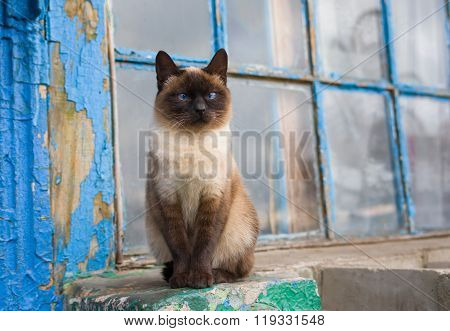 Siamese cat with blue eyes sitting at the old window