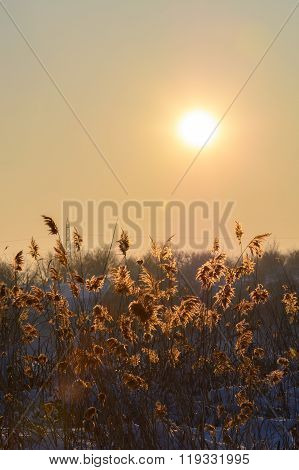 Reed In Snow And Sun Over The Sky. Vertical View With Reed Against Winter Sunset And Snow. .