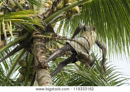 Old climber on coconut tree