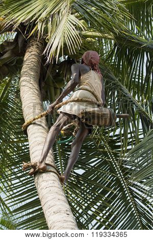 Editorial documentary. Old climber on coconut tree