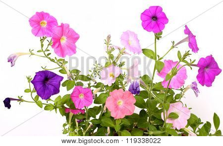 colorful petunia flowers on white