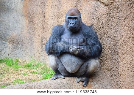 February 15, 2016 in Los Angeles, CA:  Gorilla which is the strongest and largest of all Apes taken at the Los Angeles Zoo where visitors can view animals taken in Los Angeles, CA