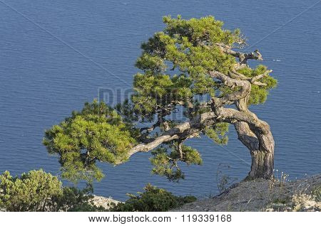 Relict Pine On The Background Of The Sea.