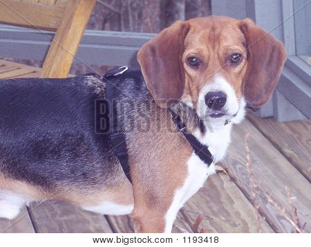 Beagle In Harness