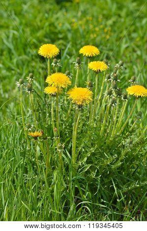 Blooming Dandelions.