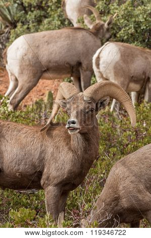 Desert bighorn Ram in Rut
