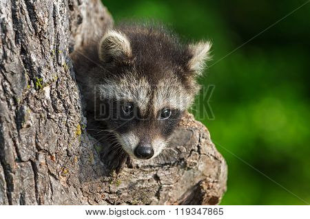 Shy Young Raccoon (procyon Lotor)