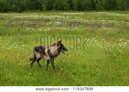 Black Phase Grey Wolf (canis Lupus) Walks Right In Field
