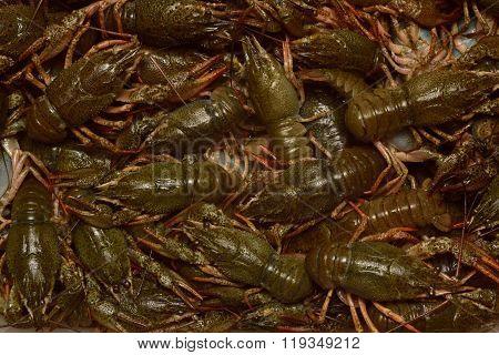 Some live crayfish.