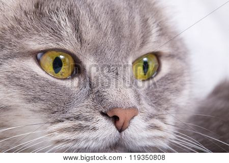 Thoughtful Muzzle Of A Gray Cat