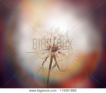 Beautiful dandelion seeds - close up