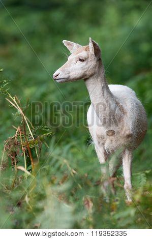 Fallow Deer (Dama Dama)