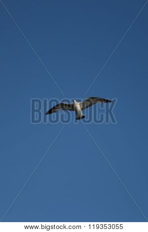 Sea gull flying in the blue clear sky.
