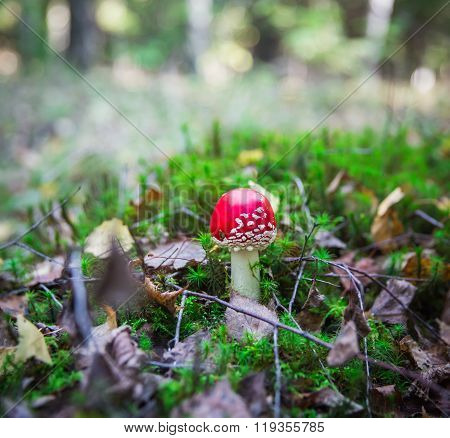 Beautiful Red Agaric In The Forest