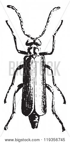 Spanish fly, vintage engraved illustration. Dictionary of words and things - Larive and Fleury - 1895.
