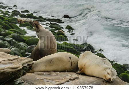 Medium Shot Of Sea Lions Sleeping On Rocks