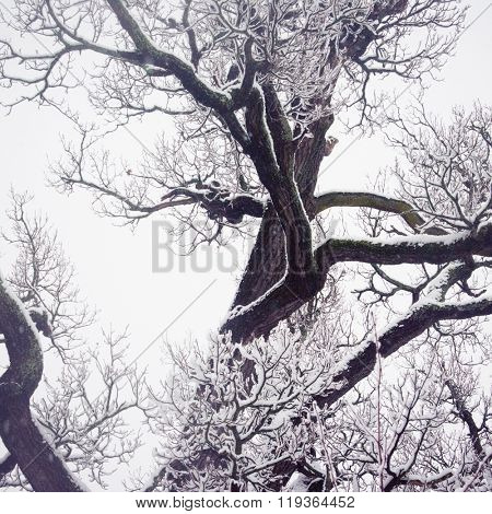 Winter old oak tree
