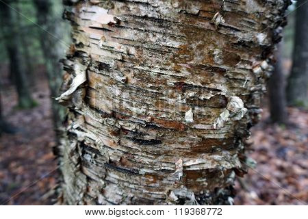 Exfoliating White Birch Tree