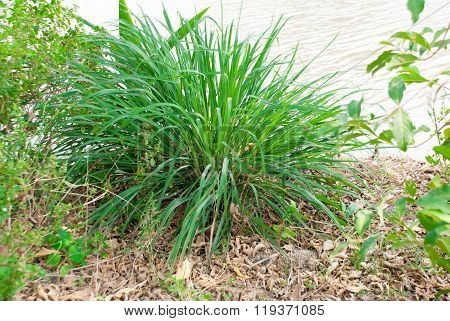 The Lemon Grass Plant On River Side