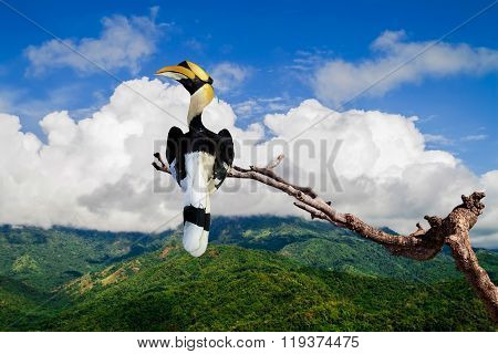 Great Hornbill (great Indian Hornbill, Great Pied Hornbill)