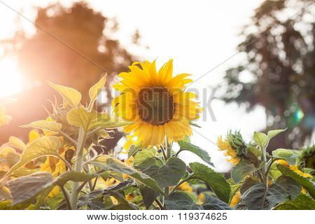Beautiful Sunflower On Natural Background With Vintage Filter Style