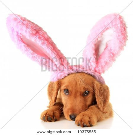 An Irish Setter puppy wearing Easter bunny ears.