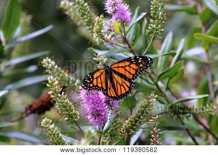 Monarch Butterfly On A New Zealand Hebe Flower