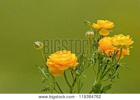 Yellow Ranunculus Flowers On Green Background
