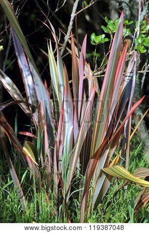 Phormium 'sundowner' Flax