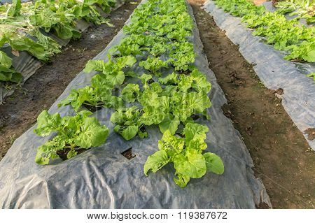 Plant Flowering Cabbage By Wrapping Soil To Keep Moisture And Avoid Grass Weed