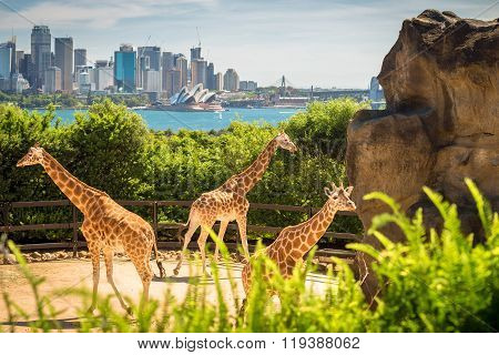 Giraffes With Beautul Sydney City At The Background