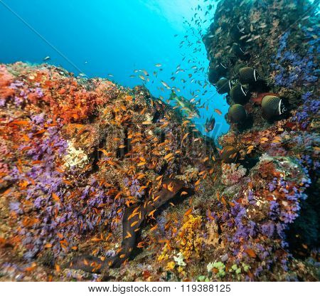 Coral reef with soft and hard corals and exotic fish on bottom of Indian ocean, Maldives.