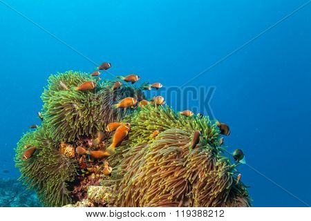 Nemo fish with host anemone, Clown Anemonefish- amphiprion frenatus, Indian ocean, Maldives